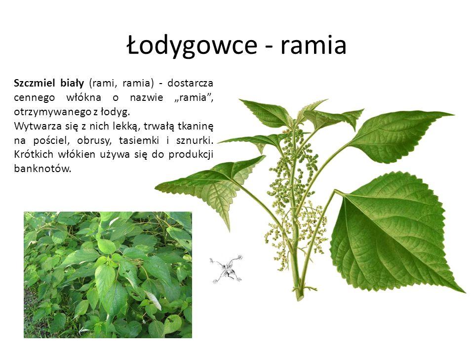"""Łodygowce - ramia Szczmiel biały (rami, ramia) - dostarcza cennego włókna o nazwie """"ramia , otrzymywanego z łodyg."""