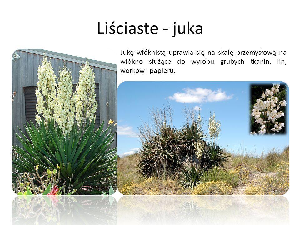 Liściaste - juka Jukę włóknistą uprawia się na skalę przemysłową na włókno służące do wyrobu grubych tkanin, lin, worków i papieru.