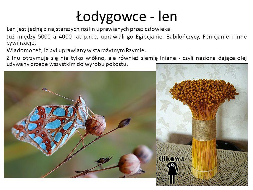Łodygowce - len