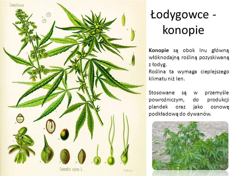 Łodygowce - konopie Konopie są obok lnu główną włóknodajną rośliną pozyskiwaną z łodyg. Roślina ta wymaga cieplejszego klimatu niż len.