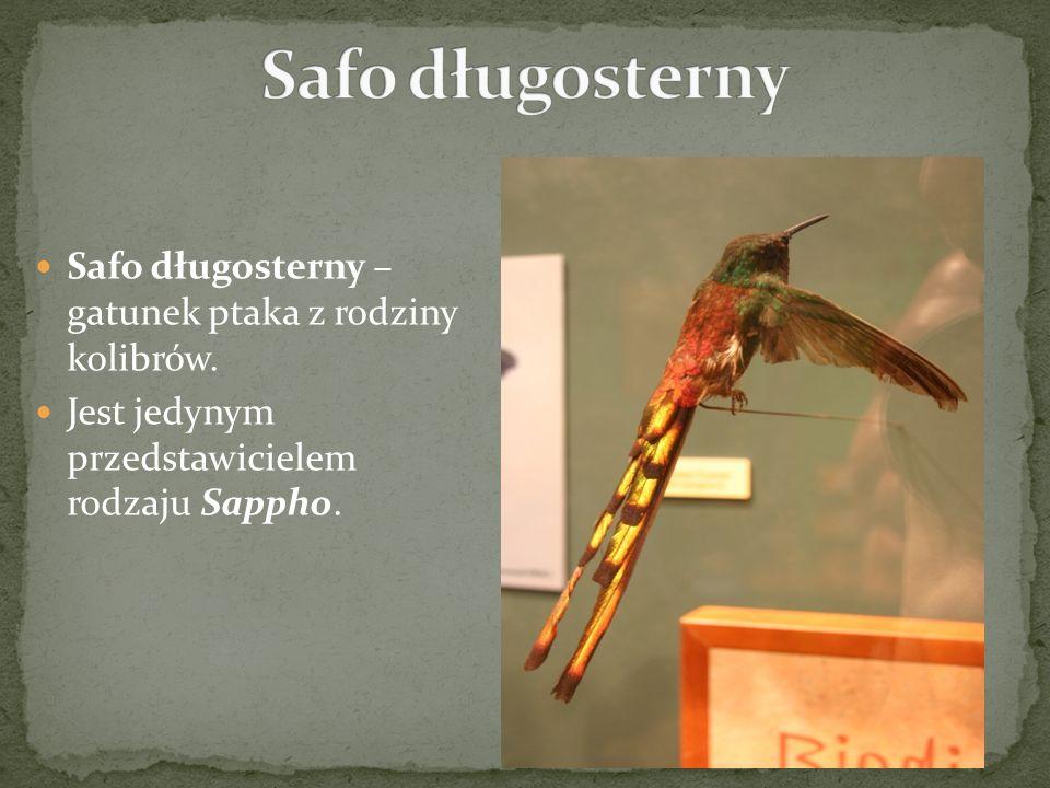 Safo długosterny Safo długosterny – gatunek ptaka z rodziny kolibrów.