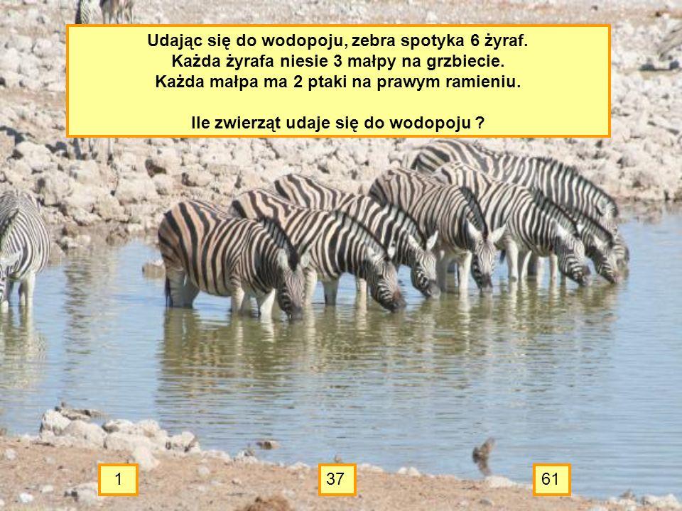 Udając się do wodopoju, zebra spotyka 6 żyraf.