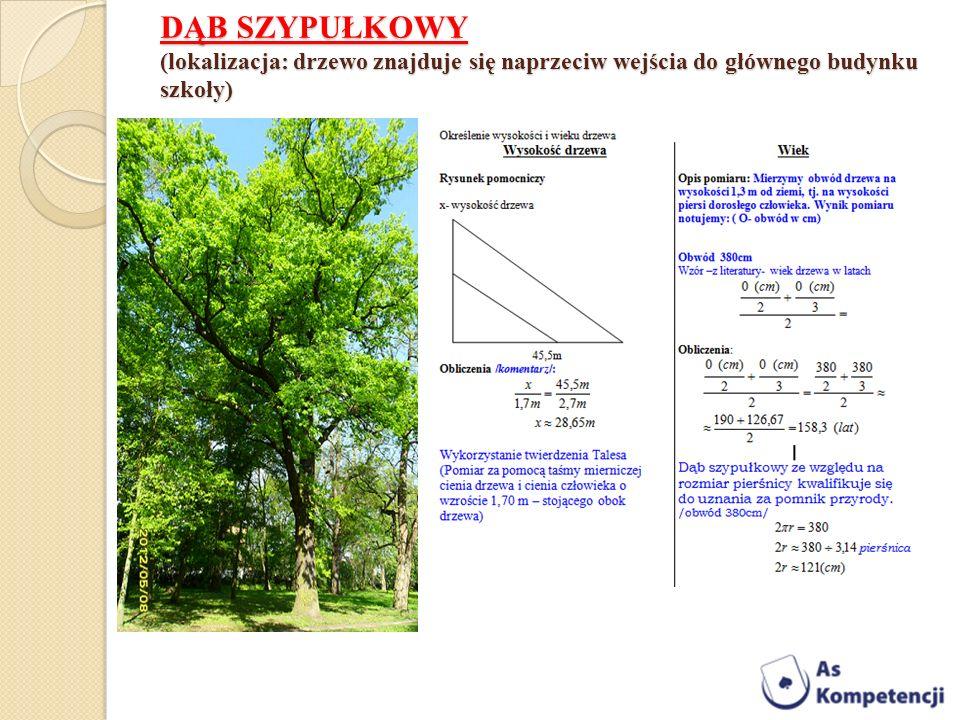 DĄB SZYPUŁKOWY (lokalizacja: drzewo znajduje się naprzeciw wejścia do głównego budynku szkoły)