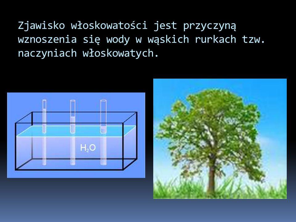 Zjawisko włoskowatości jest przyczyną wznoszenia się wody w wąskich rurkach tzw.