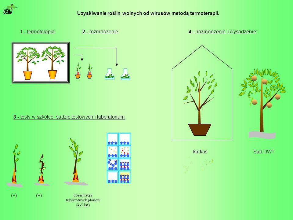 S OEM Uzyskiwanie roślin wolnych od wirusów metodą termoterapii.