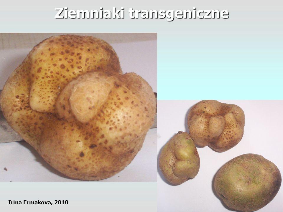 Ziemniaki transgeniczne