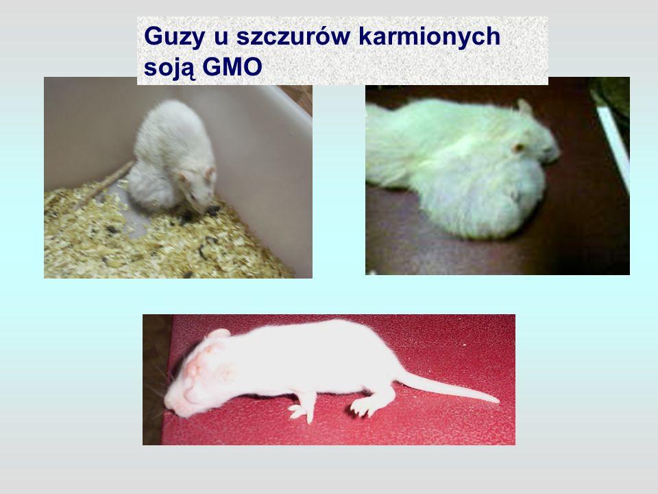 Guzy u szczurów karmionych soją GMO