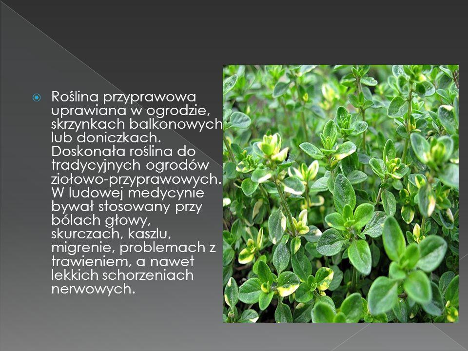 Roślina przyprawowa uprawiana w ogrodzie, skrzynkach balkonowych lub doniczkach.