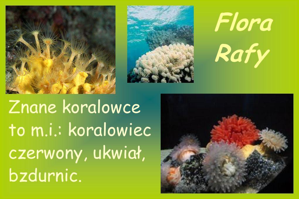 Flora Rafy Znane koralowce to m.i.: koralowiec czerwony, ukwiał, bzdurnic.