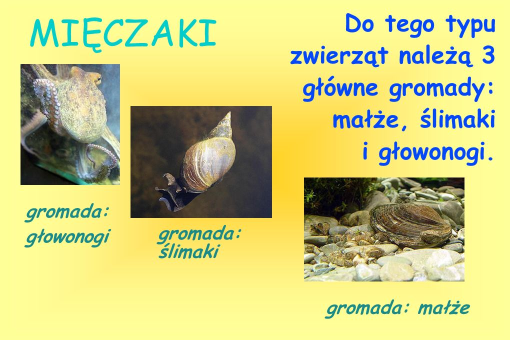 Do tego typu zwierząt należą 3 główne gromady: małże, ślimaki i głowonogi.