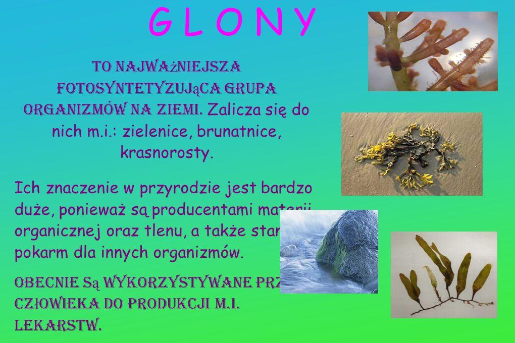 G L O N Y To najważniejsza fotosyntetyzująca grupa organizmów na Ziemi. Zalicza się do nich m.i.: zielenice, brunatnice, krasnorosty.