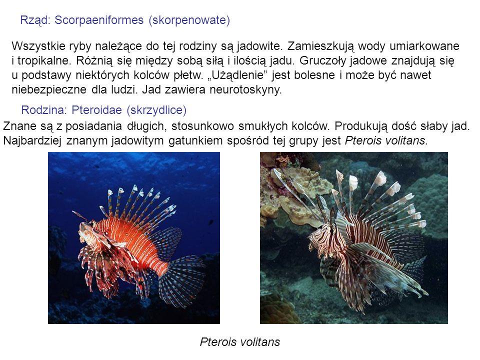 Rząd: Scorpaeniformes (skorpenowate)
