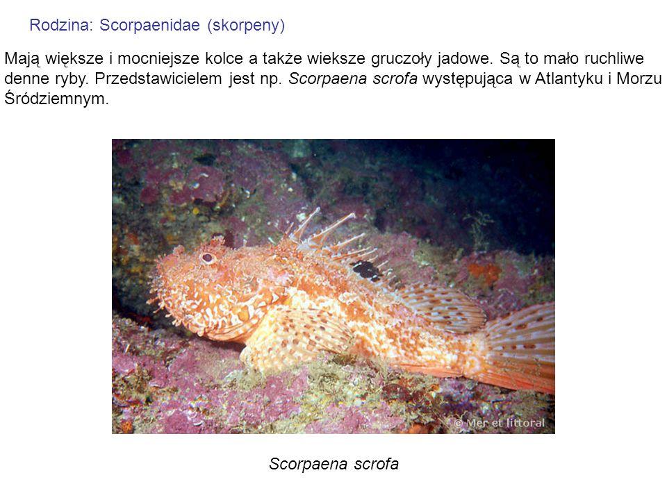Rodzina: Scorpaenidae (skorpeny)