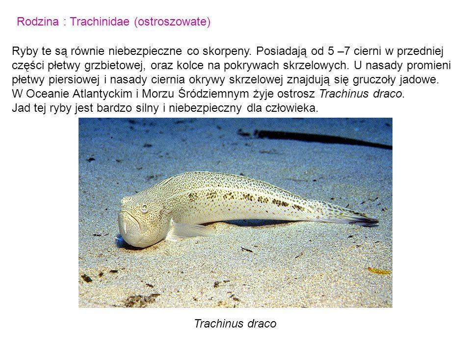 Rodzina : Trachinidae (ostroszowate)