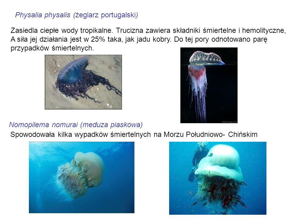 Physalia physalis (żeglarz portugalski)