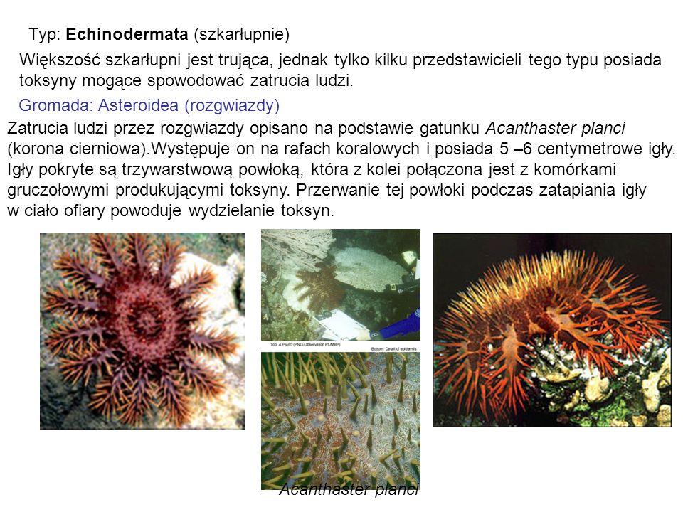 Typ: Echinodermata (szkarłupnie)