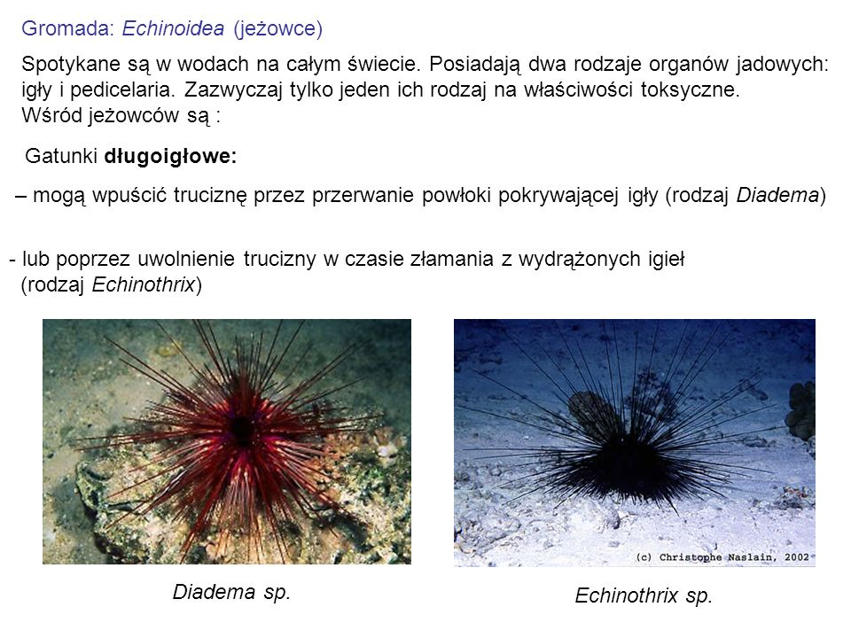 Gromada: Echinoidea (jeżowce)