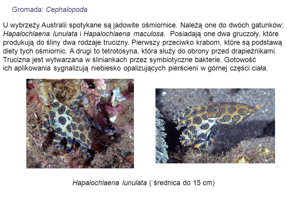Gromada: CephalopodaU wybrzeży Australii spotykane są jadowite ośmiornice. Należą one do dwóch gatunków: