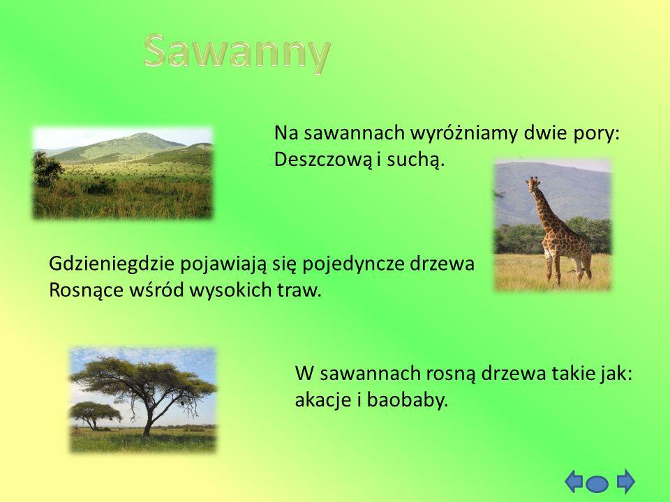 Sawanny Na sawannach wyróżniamy dwie pory: Deszczową i suchą.