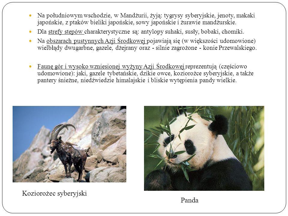 Koziorożec syberyjski Panda