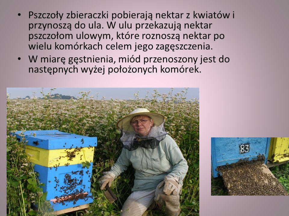 Pszczoły zbieraczki pobierają nektar z kwiatów i przynoszą do ula