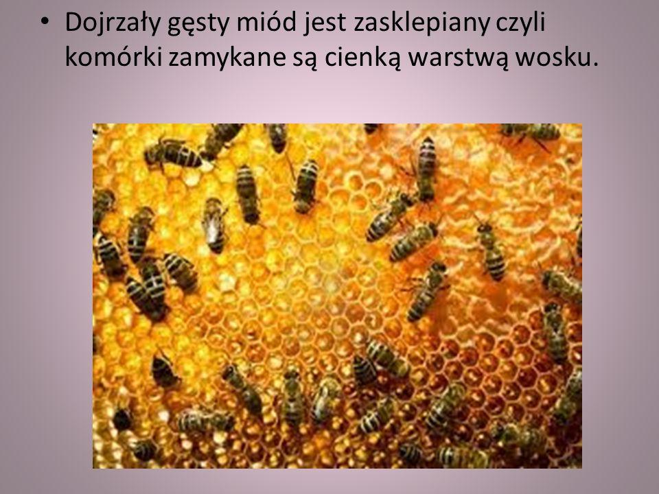 Dojrzały gęsty miód jest zasklepiany czyli komórki zamykane są cienką warstwą wosku.