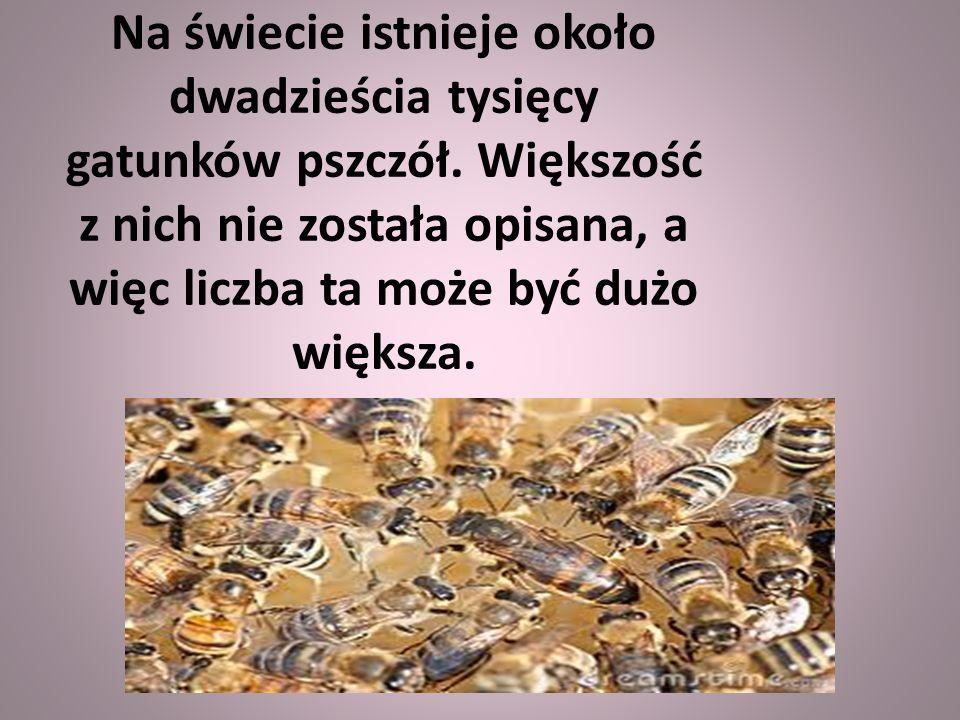Na świecie istnieje około dwadzieścia tysięcy gatunków pszczół