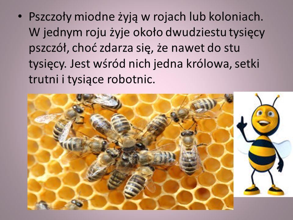 Pszczoły miodne żyją w rojach lub koloniach