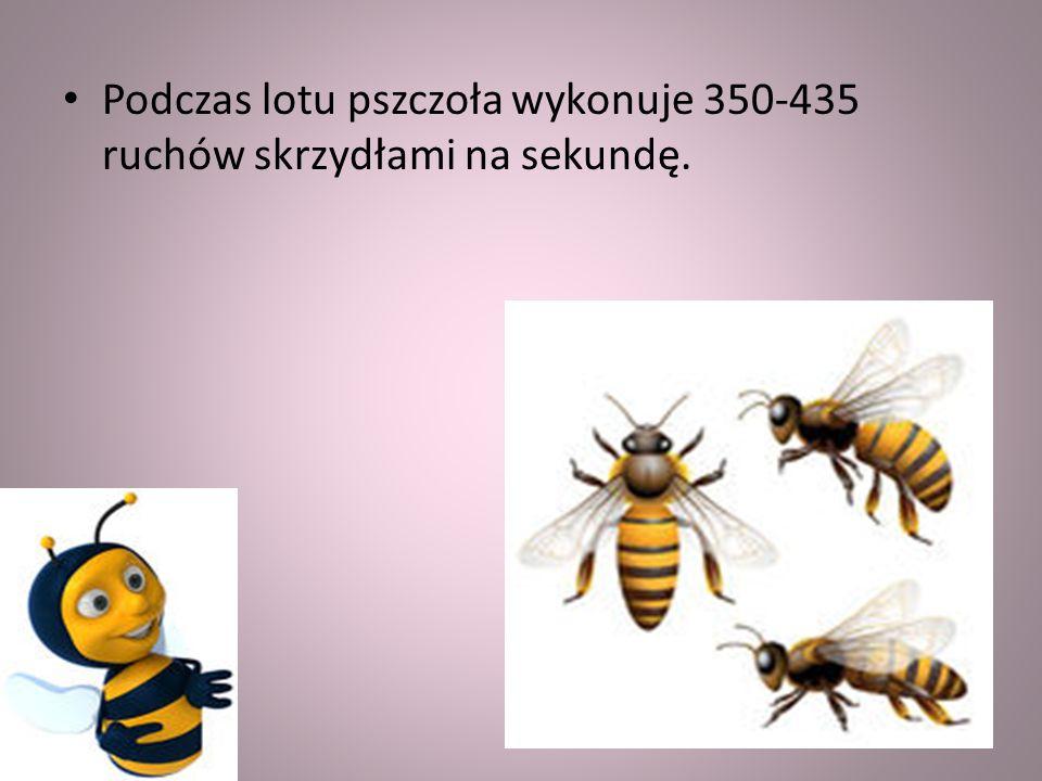 Podczas lotu pszczoła wykonuje 350-435 ruchów skrzydłami na sekundę.