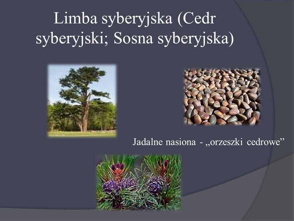 Limba syberyjska (Cedr syberyjski; Sosna syberyjska)
