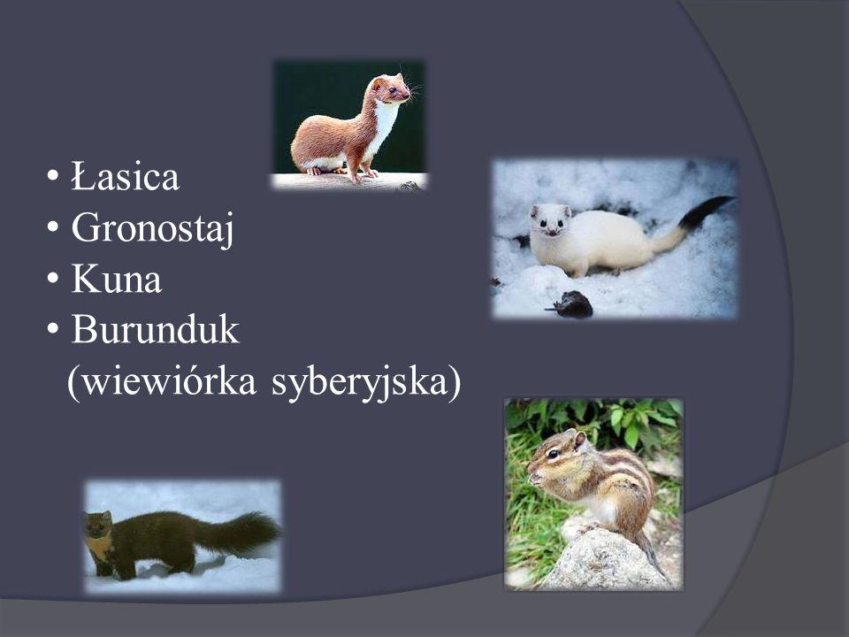 Łasica Gronostaj Kuna Burunduk (wiewiórka syberyjska)