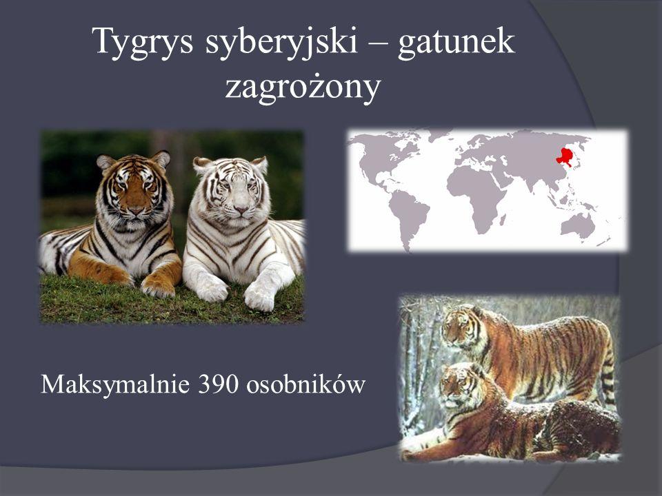 Tygrys syberyjski – gatunek zagrożony