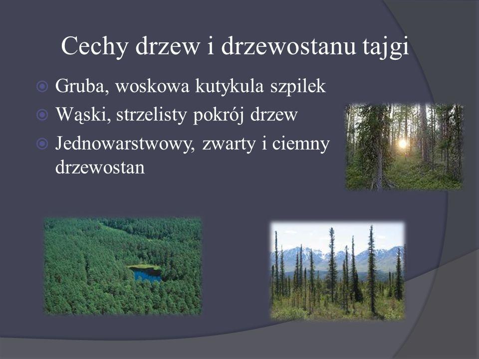 Cechy drzew i drzewostanu tajgi