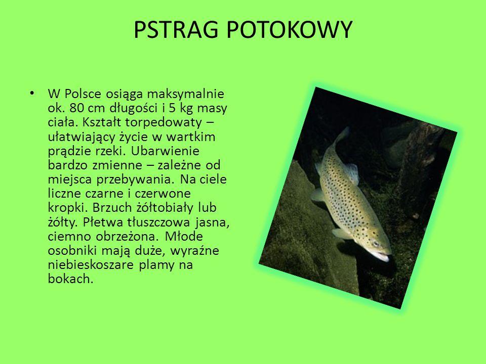 PSTRAG POTOKOWY