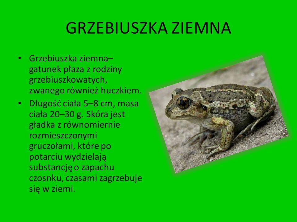 GRZEBIUSZKA ZIEMNA Grzebiuszka ziemna– gatunek płaza z rodziny grzebiuszkowatych, zwanego również huczkiem.