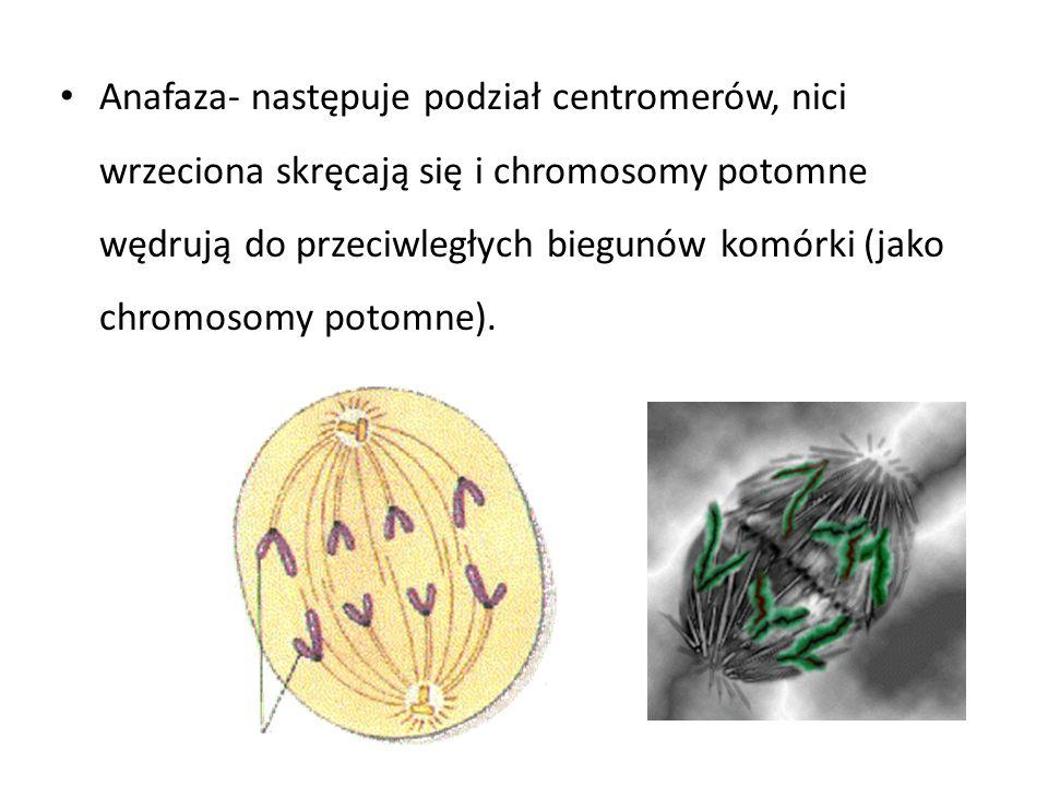 Anafaza- następuje podział centromerów, nici wrzeciona skręcają się i chromosomy potomne wędrują do przeciwległych biegunów komórki (jako chromosomy potomne).