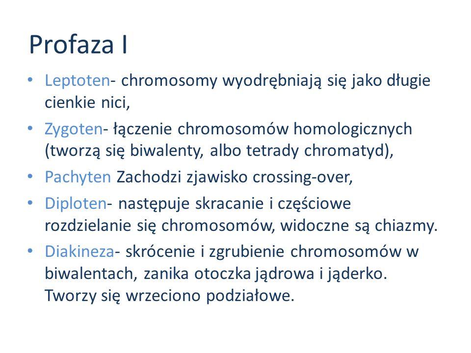Profaza I Leptoten- chromosomy wyodrębniają się jako długie cienkie nici,