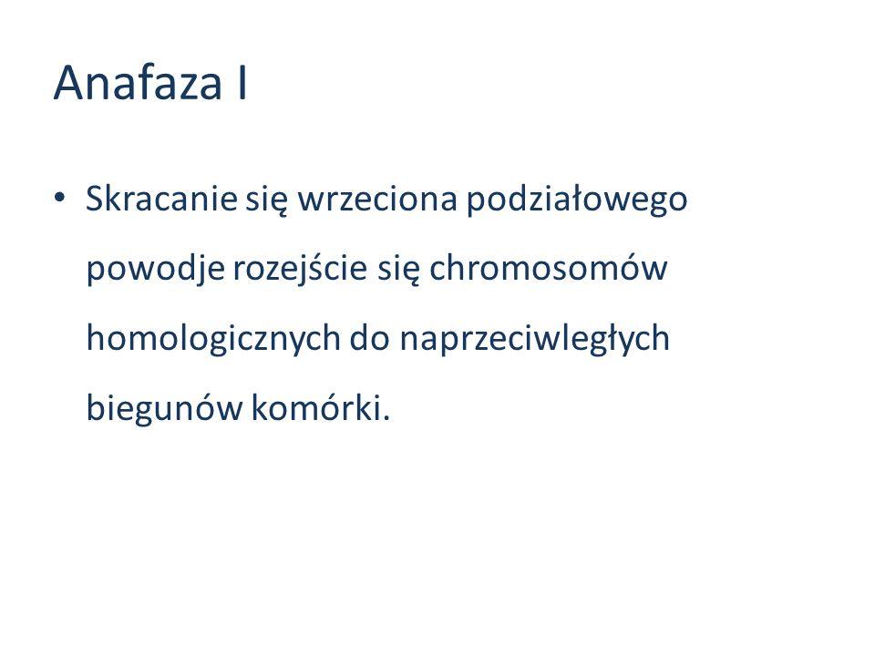 Anafaza I Skracanie się wrzeciona podziałowego powodje rozejście się chromosomów homologicznych do naprzeciwległych biegunów komórki.