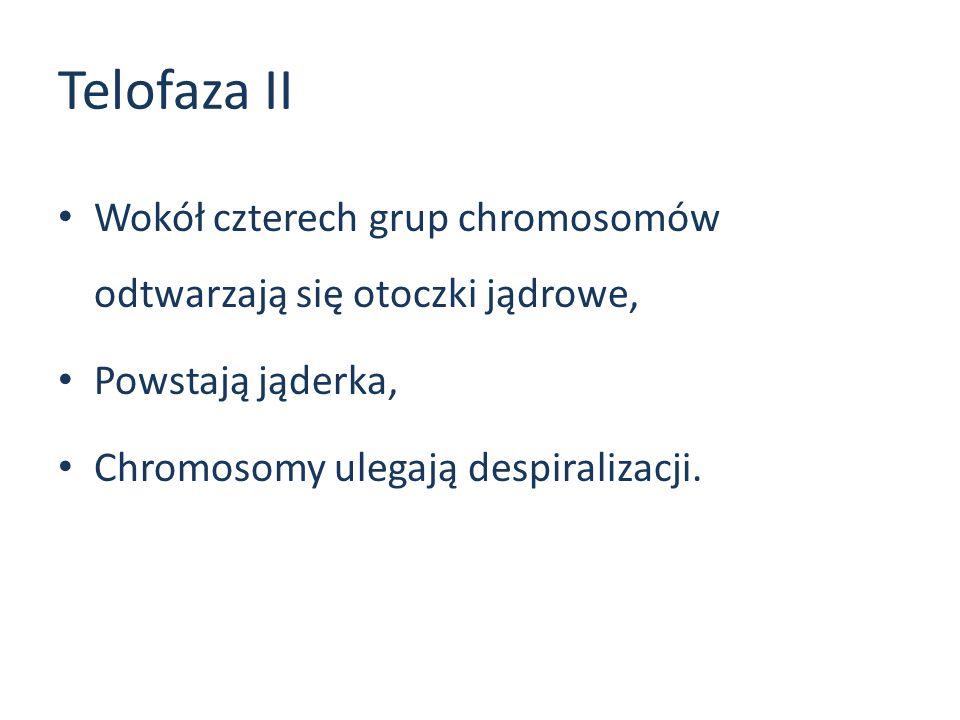 Telofaza II Wokół czterech grup chromosomów odtwarzają się otoczki jądrowe, Powstają jąderka, Chromosomy ulegają despiralizacji.