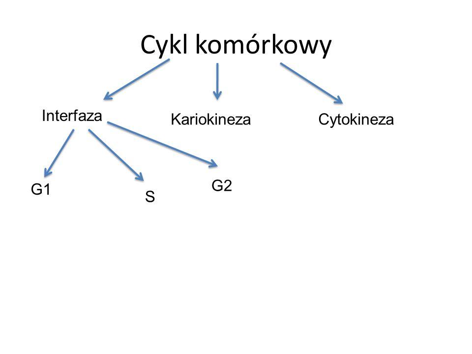 Cykl komórkowy Interfaza Kariokineza Cytokineza G2 G1 S