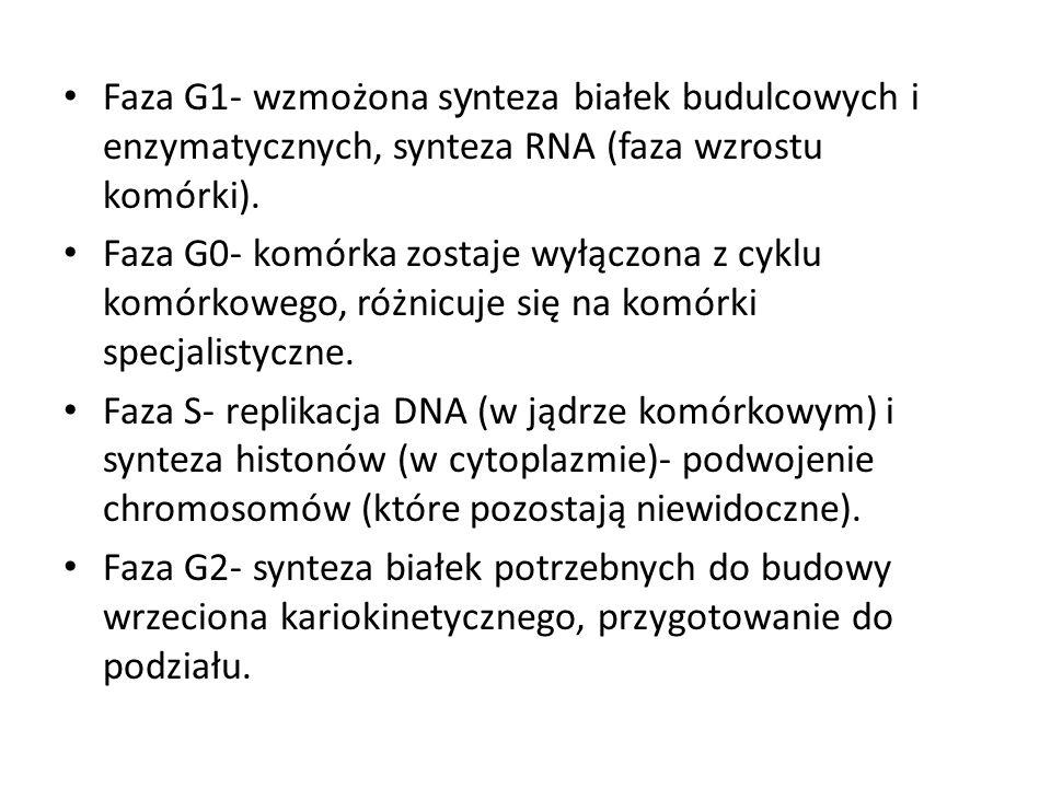 Faza G1- wzmożona synteza białek budulcowych i enzymatycznych, synteza RNA (faza wzrostu komórki).