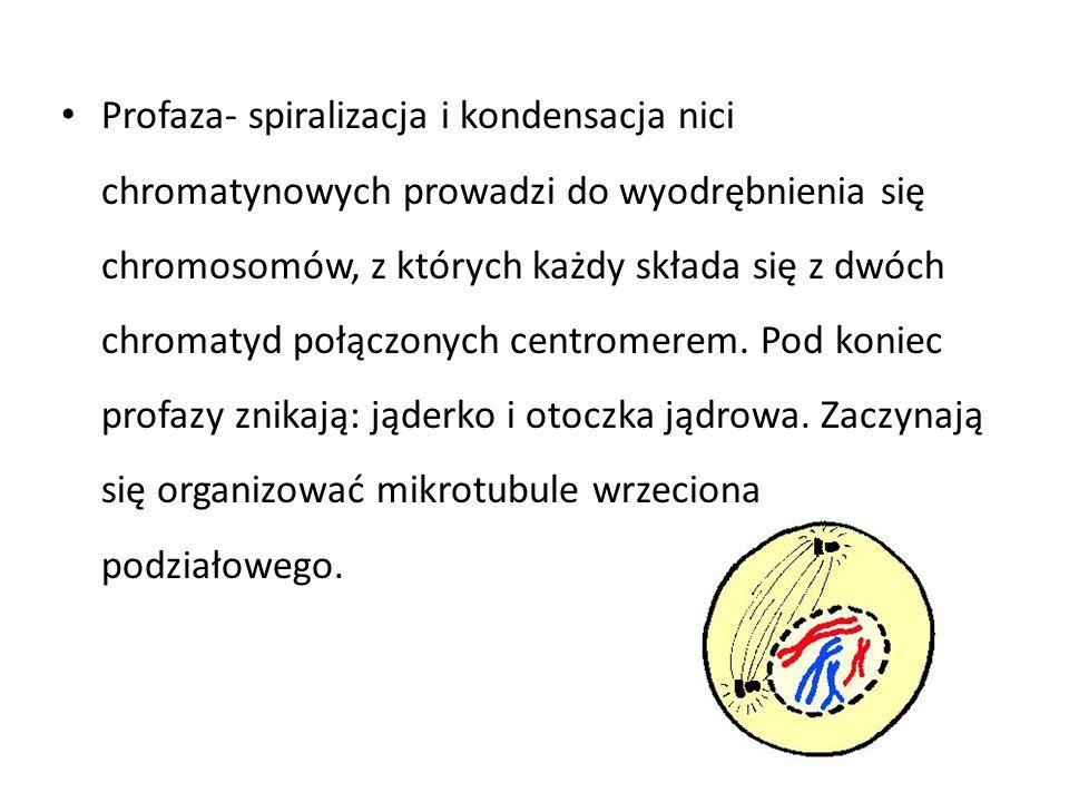 Profaza- spiralizacja i kondensacja nici chromatynowych prowadzi do wyodrębnienia się chromosomów, z których każdy składa się z dwóch chromatyd połączonych centromerem.