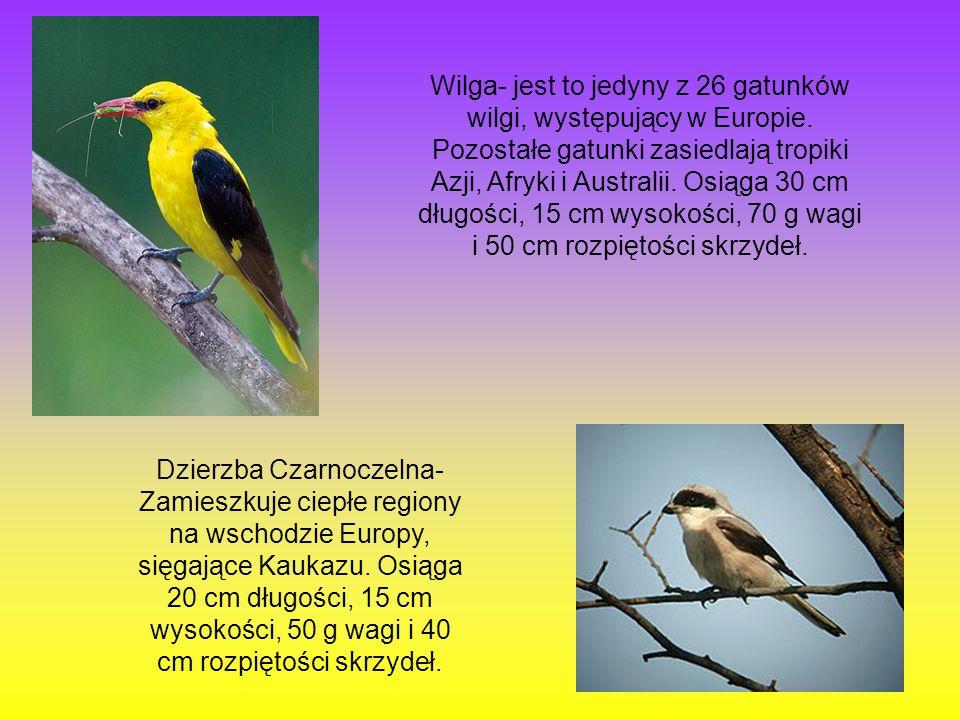 Wilga- jest to jedyny z 26 gatunków wilgi, występujący w Europie