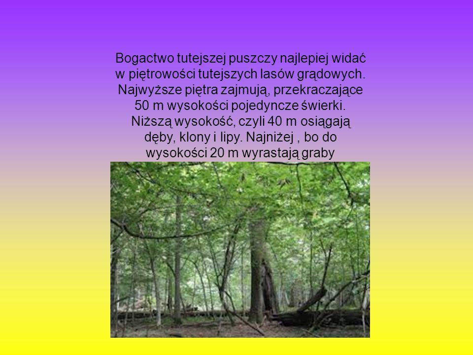 Bogactwo tutejszej puszczy najlepiej widać w piętrowości tutejszych lasów grądowych.