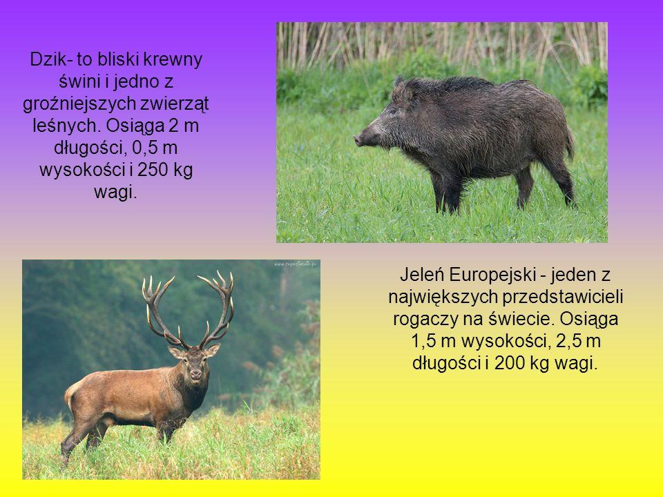 Dzik- to bliski krewny świni i jedno z groźniejszych zwierząt leśnych