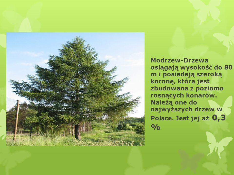 Modrzew-Drzewa osiągają wysokość do 80 m i posiadają szeroką koronę, która jest zbudowana z poziomo rosnących konarów.