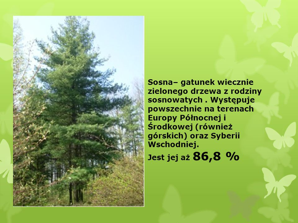 Sosna– gatunek wiecznie zielonego drzewa z rodziny sosnowatych