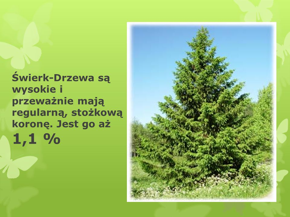 Świerk-Drzewa są wysokie i przeważnie mają regularną, stożkową koronę