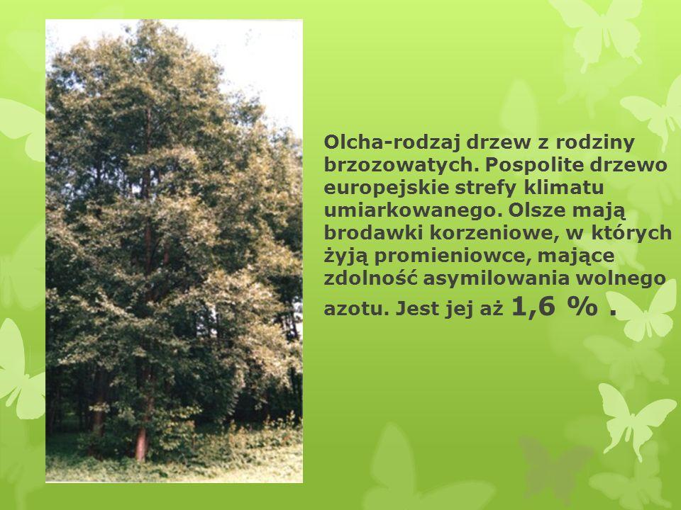 Olcha-rodzaj drzew z rodziny brzozowatych