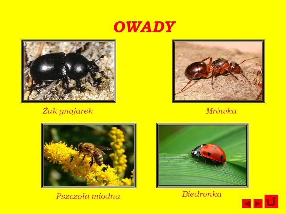 OWADY Żuk gnojarek Mrówka Biedronka Pszczoła miodna